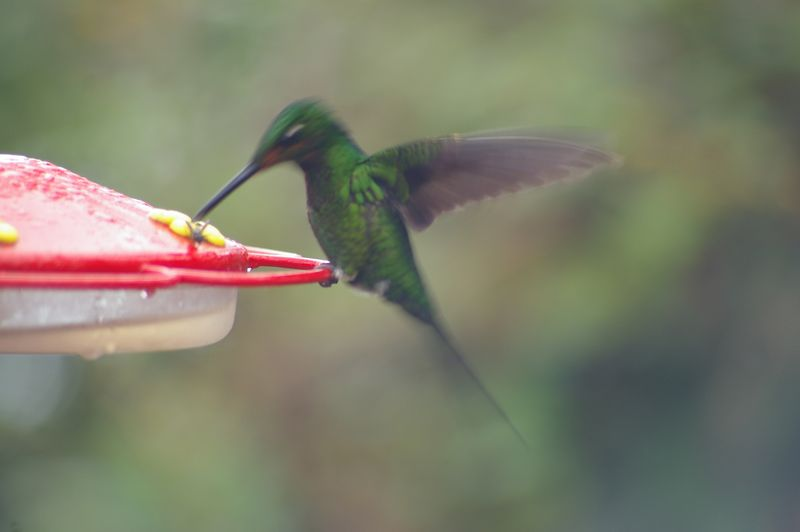 HummingBirdFlying