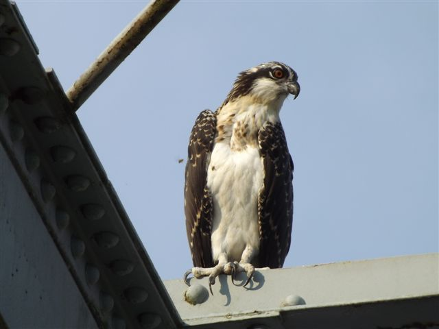 Osprey on bridge